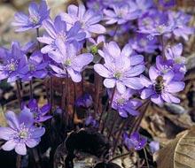 Daksy amici dei parchi naturali altoatesini l anemone for Pianta noccioline