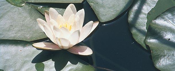 Daksy amici dei parchi naturali altoatesini ninfea bianca for Piante da stagno