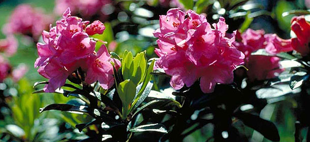 Daksy amici dei parchi naturali altoatesini il rododendro for Ruggine delle rose